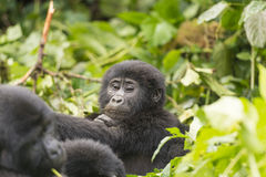 Young Gorilla in the Forest Stock Image