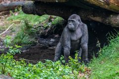 Young gorilla look where is his mother stock photo