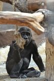 Young gorilla is playing Royalty Free Stock Photos