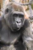 Young gorilla portrait Royalty Free Stock Photos