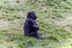 Young gorilla Stock Image