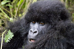 Young Gorilla Stock Photo