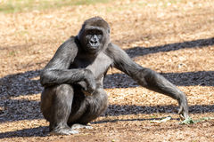 Young Gorilla Stock Images