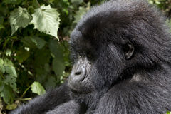 Young Gorilla in the wild Stock Images