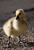 Young Gosling. Poses as the sun lights the bird from behind Royalty Free Stock Photography