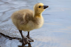 Young Gosling. Tilts its head up while drinking some water Stock Photos