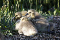 Young Goslings Stock Images