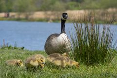 Young goslings foraging on grass stock photo