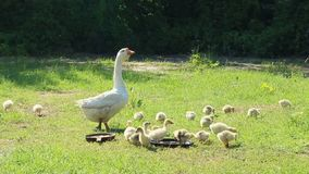 Young goslings with goose stock footage
