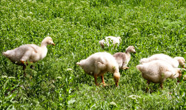 Young goslings graze on grass in the village Royalty Free Stock Photo