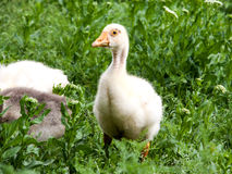 Young goslings graze on grass in the village Stock Photography