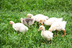 Young goslings graze on grass in the village Royalty Free Stock Image