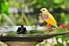 Young Gouldian finch Royalty Free Stock Images