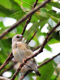 Young Gouldian finch bird Stock Photo
