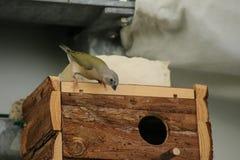 Young gouldian finch (Erythrura gouldiae) on birdhouse Stock Photos