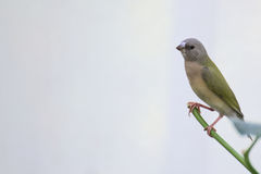 Young gouldian finch (Erythrura gouldiae) sitting on a twig Stock Photos