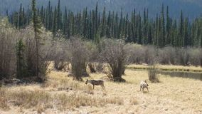 Young, graceful elk grazing in a field stock video