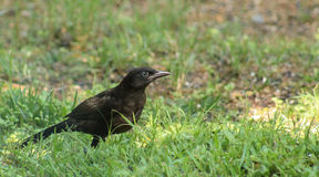 Young Grackle Royalty Free Stock Images