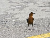 Young Grackle in Parking Lot Royalty Free Stock Images