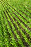 Young grain. A piece of field of green grain stock photography