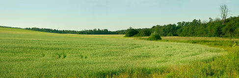 Young grain field  . Royalty Free Stock Photography