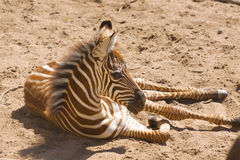 Young Grant's Zebra. A young grant's zebra taking a break in the sand Stock Photos