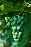 Young grape on a branch stock photos