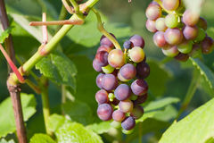 Young grape bunches Stock Photo