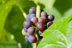 Young grape bunches Royalty Free Stock Photo