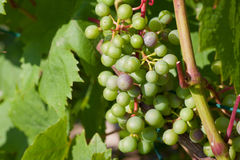 Young grape bunches Royalty Free Stock Photography