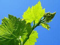 Young grape cluster Stock Image