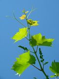 Young grape cluster Stock Photography