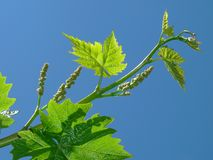 Young grape clusters Stock Photos