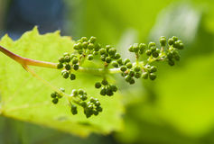 Young grape clusters Stock Photo