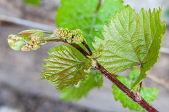 Young grape clusters Stock Photography