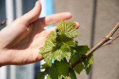 Young Grape foliage  in the hand of man Stock Photos