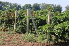 Young grape harvest royalty free stock images