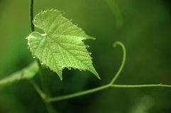 Young grape leaf. Stock Image