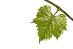Young grape leaf on branch on white background Stock Photography