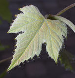 Young grape leaf Stock Images