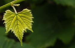 Young Grape Leaf on Vine Royalty Free Stock Photos