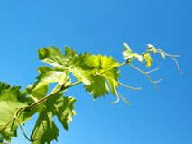 Young grape leaves Stock Photo