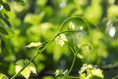 Young grape leaves in nature Stock Image