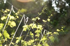Young grape leaves in nature . Royalty Free Stock Images