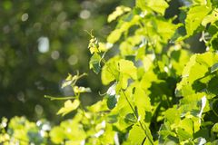 Young grape leaves in nature . Stock Images