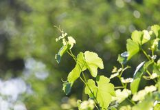 Young grape leaves in nature Royalty Free Stock Image