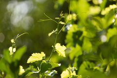 Young grape leaves in nature Royalty Free Stock Photography