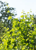Young grape leaves in nature Royalty Free Stock Images