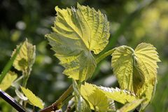 Young grape leaves in spring stock photos