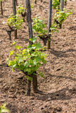 Young grape plant Royalty Free Stock Photography
